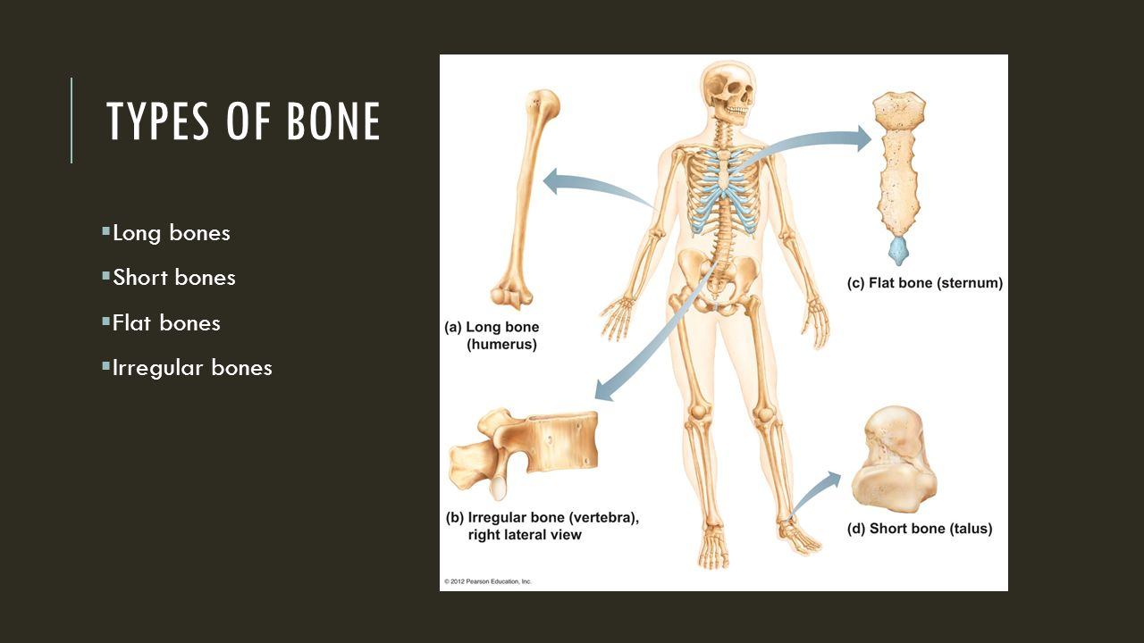 Musculoskeletal System Skeletal System 206 Bones In The Human Body