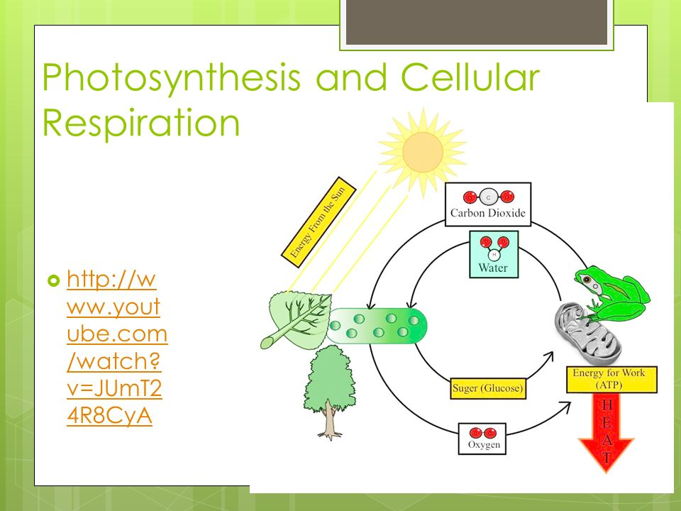 summarize the process of photosynthesis Lesson summary in this lesson, we learned about the light reactions of photosynthesis these reactions use photolysis , or the use of light energy to split water molecules and produce oxygen.