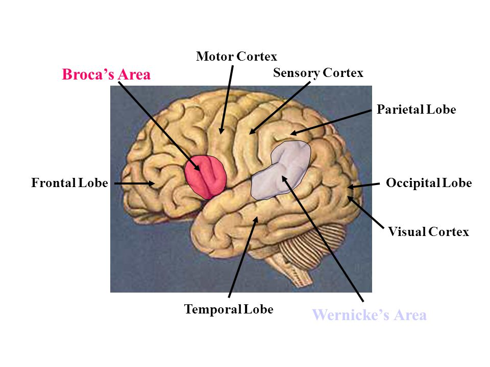 Motor cortex brain diagram brocas area free car wiring diagrams diversity and differentiated leadership implications for rh slideplayer com brain diagram hypothalamus sensory motor cortex brain diagram ccuart Gallery