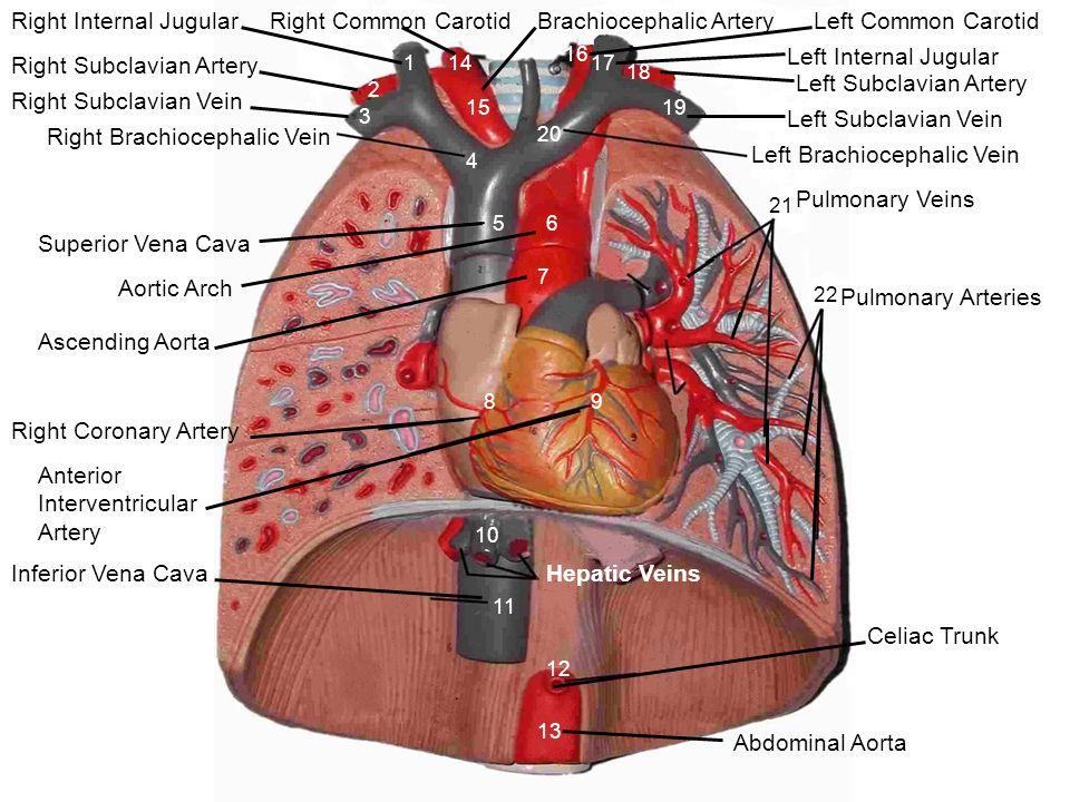 Brachiocephalic ArteryLeft Common Carotid Left Subclavian Artery ...