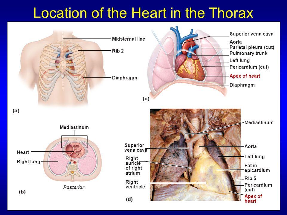 The Heart Ch 19 Human Anatomy Sonya Schuh Huerta Phd Leonardo Da