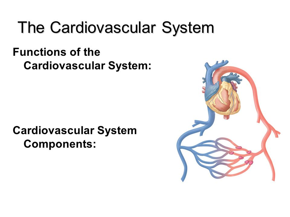 Cardiovascular System The Cardiovascular System Functions Of The