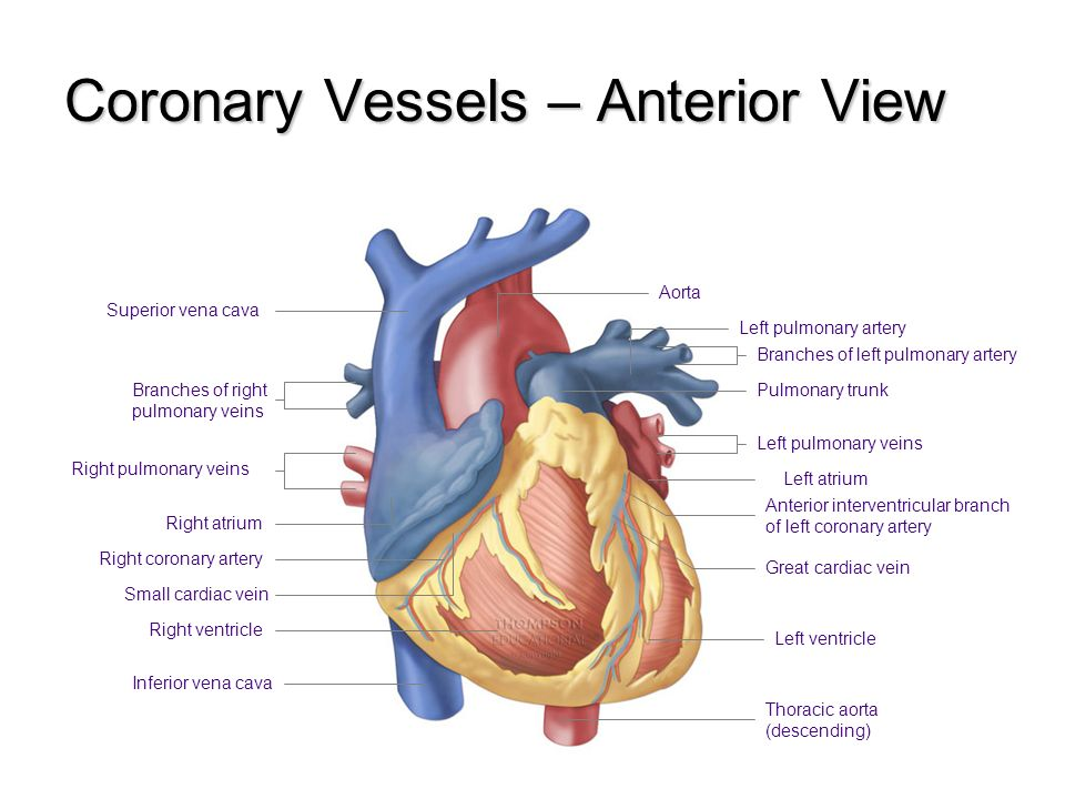 Cardiovascular System. The Cardiovascular System Functions of the ...
