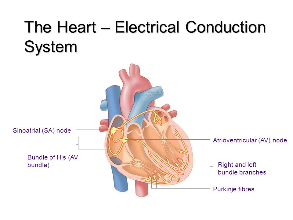 Cardiovascular system the cardiovascular system functions of the 9 the heart electrical conduction system sinoatrial sa node bundle of his av bundle atrioventricular av node right and left bundle branches purkinje ccuart Images