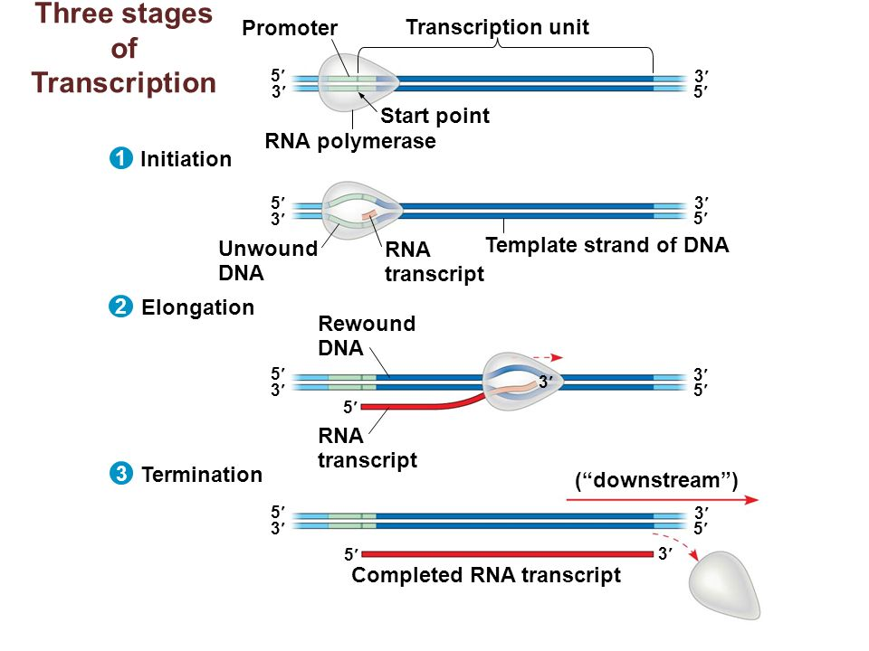 three stages of transcription