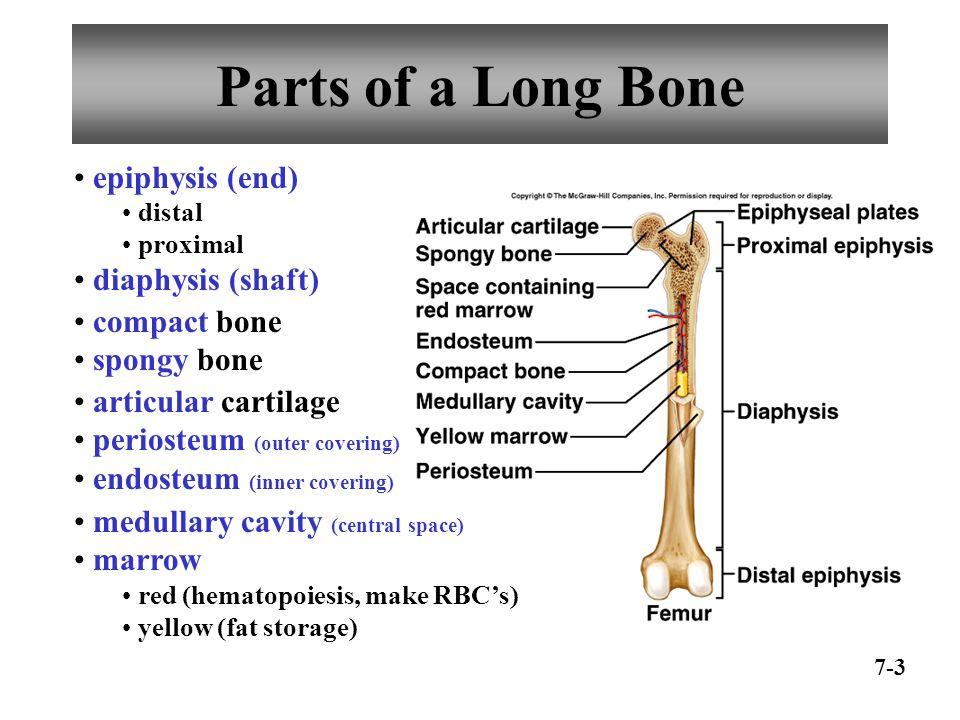 SKELETAL SYSTEM Chapter Chapter 7 Skeletal System Bone ...