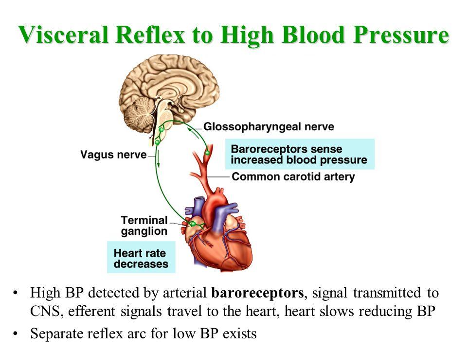 Autonomic Nervous System Visceral Reflexes Chapter 15 Autonomic