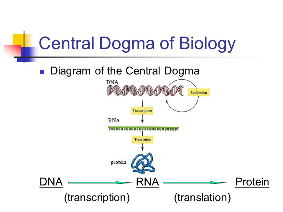 Protein Synthesis How Can Dna Be Used By The Cell To Make A Protein