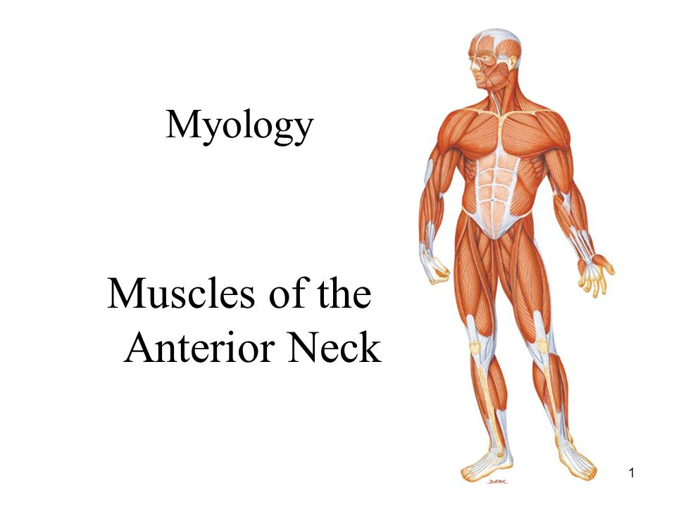 1 Myology Muscles Of The Anterior Neck 2 Muscles Of The Neck