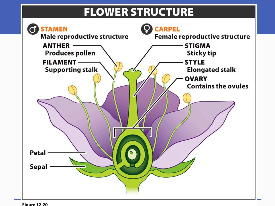 3 Part A of the flower is known as the: 1.Stamen 2.Carpel 3.Endosperm 4.Sepal 5.Stigma AB