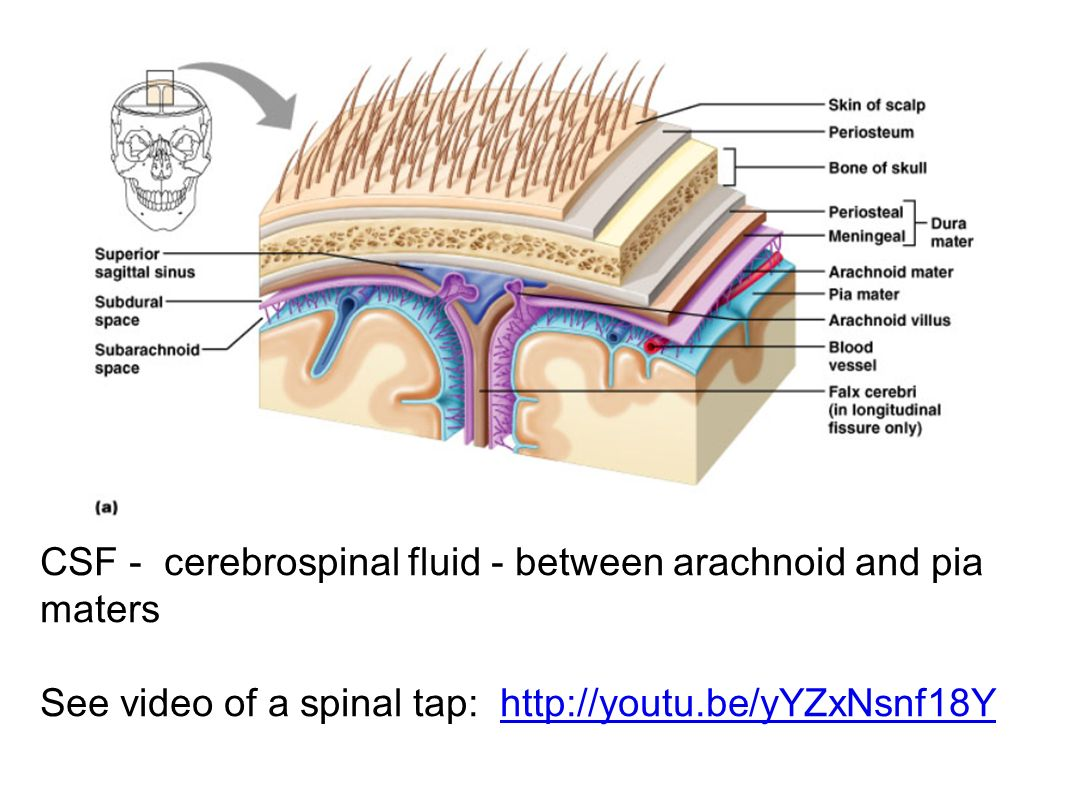 9.11 The Meninges = membranes located between bone and soft tissues ...