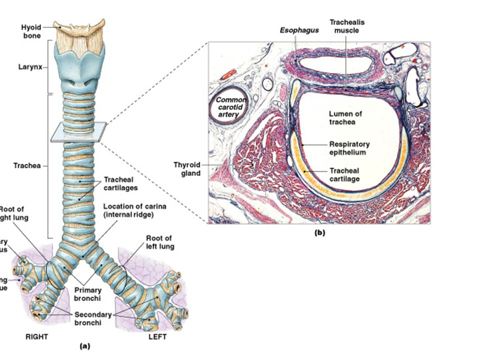 Lab 36 Respiratory Anatomy. Lab Practical #1 26 stations: –13 ...