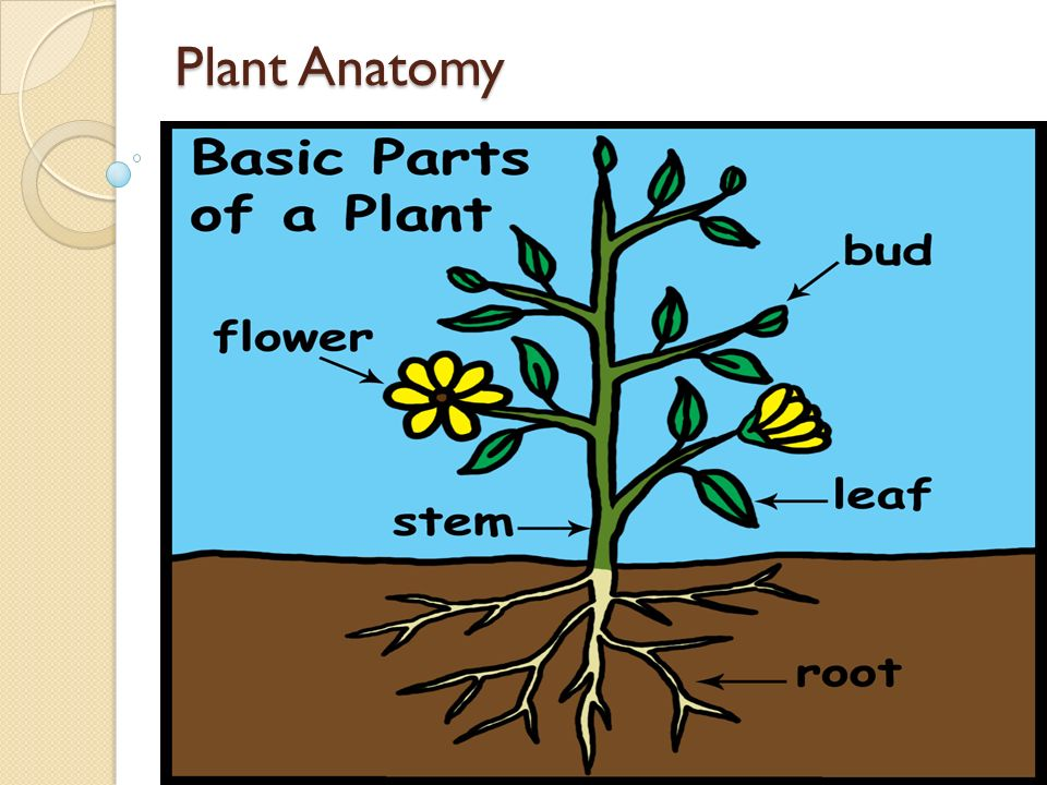 Plant Anatomy Flower Is For Reproduction It Has The Plants
