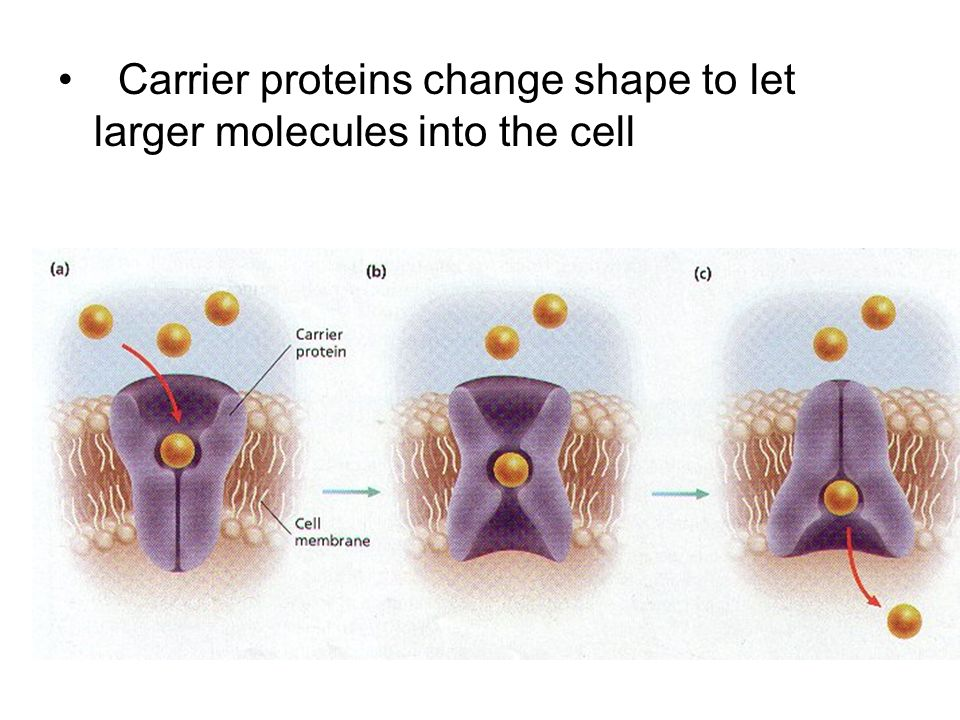 Carrier proteins change shape to let larger molecules into the cell