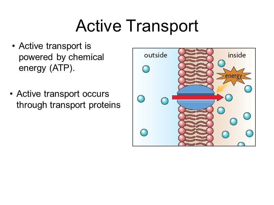 Active transport is powered by chemical energy (ATP).