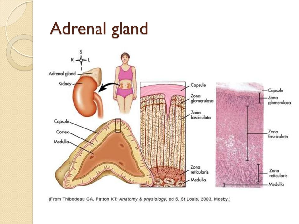 Endocrine Adrenal gland And Pancreas. Adrenal gland Structure Cortex ...