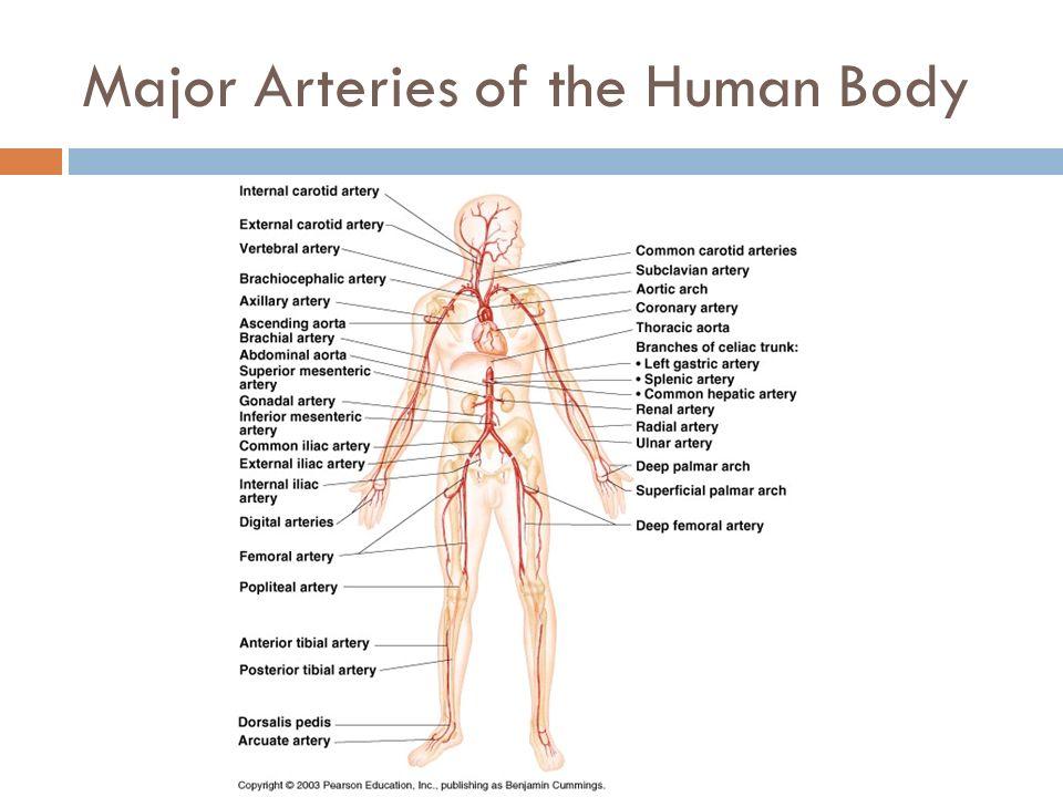 Lab 5 Circulatory System Part 3 Arteries Dr Kim Wilson Ppt