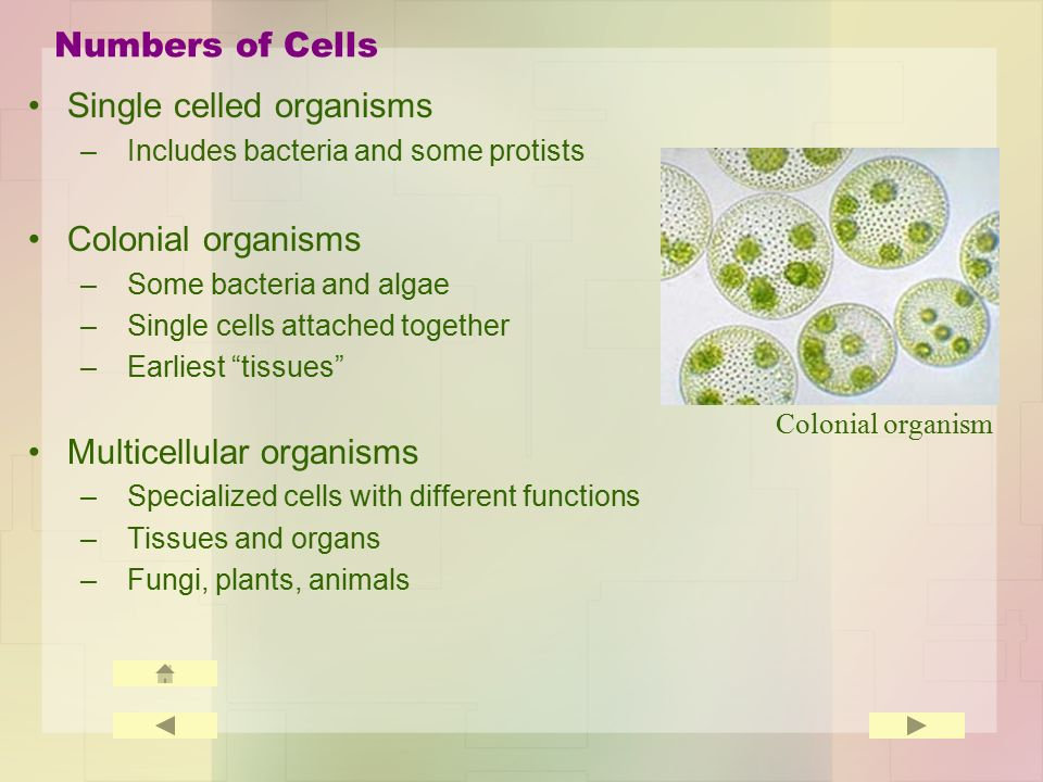 Numbers of Cells Single celled organisms –Includes bacteria and some protists Colonial organisms –Some bacteria and algae –Single cells attached together –Earliest tissues Multicellular organisms –Specialized cells with different functions –Tissues and organs –Fungi, plants, animals Colonial organism
