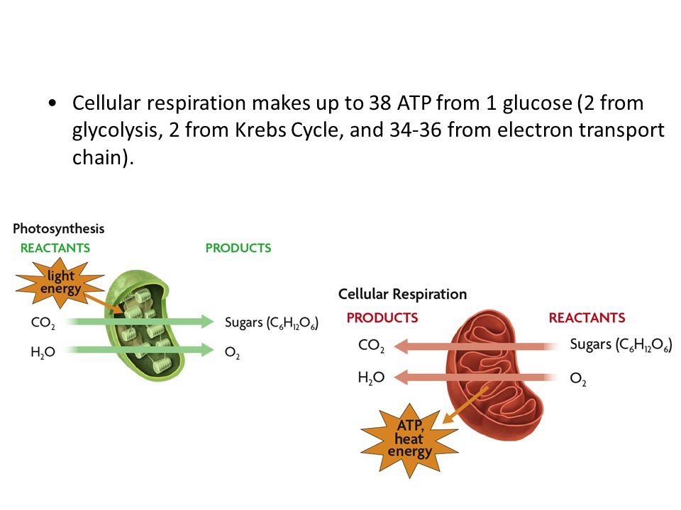 Cellular respiration makes up to 38 ATP from 1 glucose (2 from glycolysis, 2 from Krebs Cycle, and from electron transport chain).