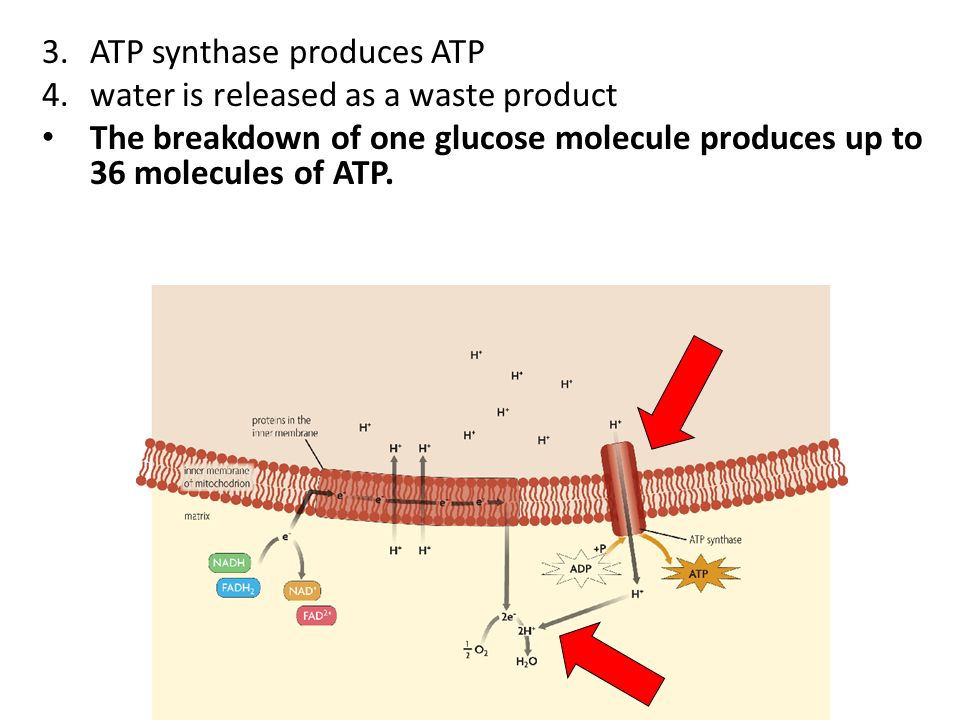 3.ATP synthase produces ATP 4.water is released as a waste product The breakdown of one glucose molecule produces up to 36 molecules of ATP.