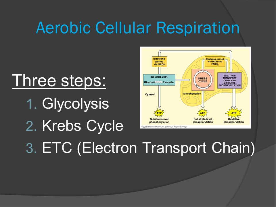 aerobic essay question respiration Possible photosynthesis & respiration essay questions collegenow biology exam 1 aerobic multi-cellular organisms need oxygen in order to live.