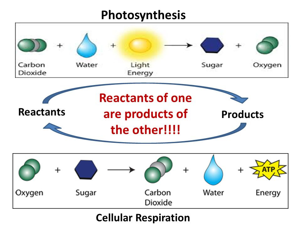 Photosynthesis cellular respiration reactants products diagram energy cellular respiration mitochondria what is produced from rh slideplayer com photosynthesis vs cellular respiration cellular ccuart Image collections