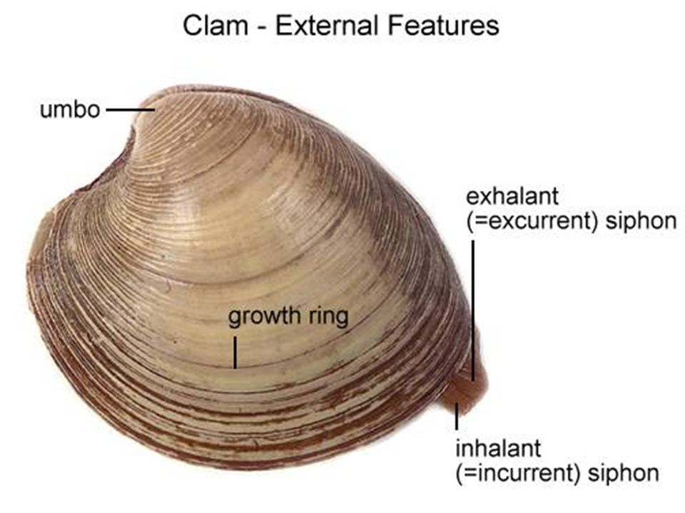 The Clam Dissection Taxonomy And General Info Kingdom Animalia