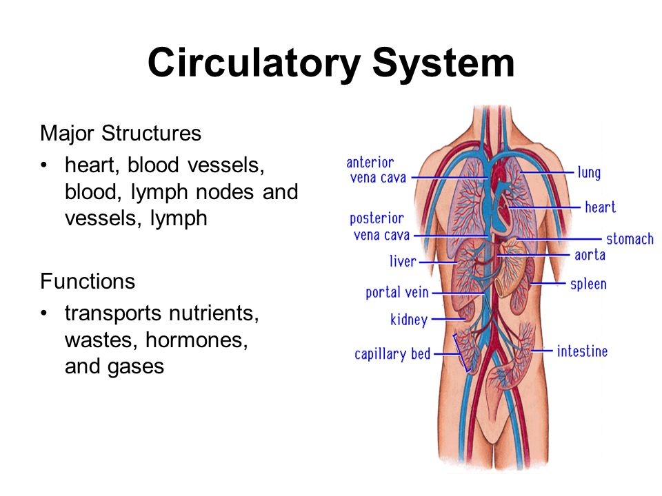 an overview of the circulatory system The cardiovascular system can be thought of as the transport system of the body this system has three main components: the heart , the blood vessel and the blood itself the heart is the system's pump and the blood vessels are like the delivery routes.