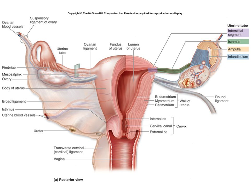 Reproductive System Reproductive System Basics Not For Homeostasis