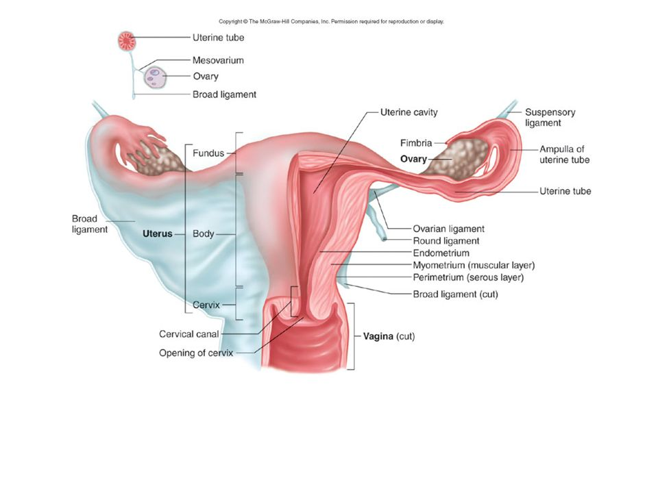 REPRODUCTIVE SYSTEM. REPRODUCTIVE SYSTEM: Basics Not for Homeostasis ...