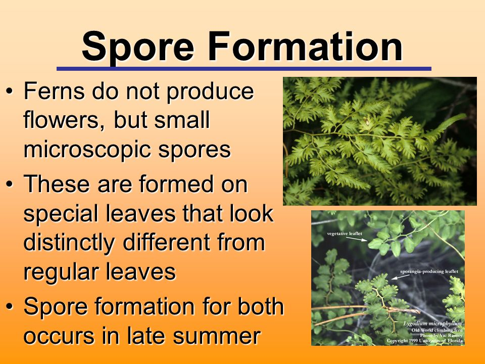 Spore Formation Ferns do not produce flowers, but small microscopic sporesFerns do not produce flowers, but small microscopic spores These are formed on special leaves that look distinctly different from regular leavesThese are formed on special leaves that look distinctly different from regular leaves Spore formation for both occurs in late summerSpore formation for both occurs in late summer