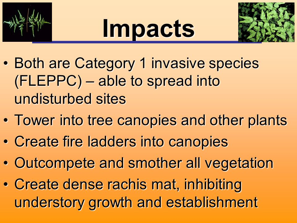 Impacts Both are Category 1 invasive species (FLEPPC) – able to spread into undisturbed sitesBoth are Category 1 invasive species (FLEPPC) – able to spread into undisturbed sites Tower into tree canopies and other plantsTower into tree canopies and other plants Create fire ladders into canopiesCreate fire ladders into canopies Outcompete and smother all vegetationOutcompete and smother all vegetation Create dense rachis mat, inhibiting understory growth and establishmentCreate dense rachis mat, inhibiting understory growth and establishment