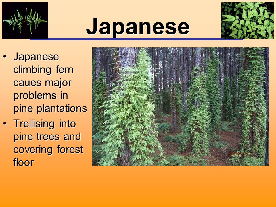 Japanese Japanese climbing fern caues major problems in pine plantationsJapanese climbing fern caues major problems in pine plantations Trellising into pine trees and covering forest floorTrellising into pine trees and covering forest floor
