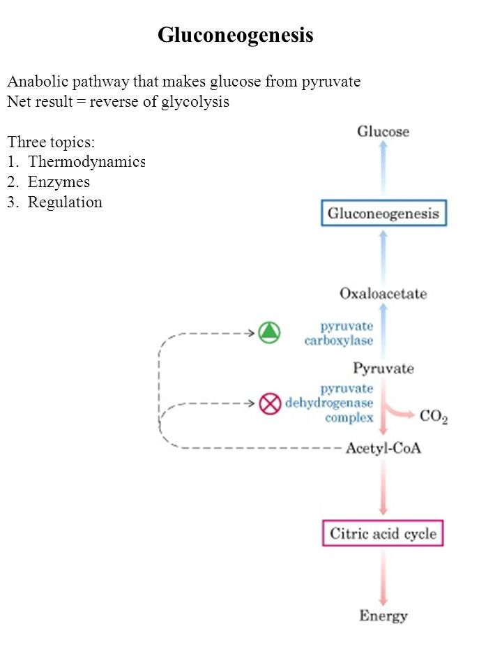 Gluconeogenesis Anabolic Pathway That Makes Glucose From Pyruvate