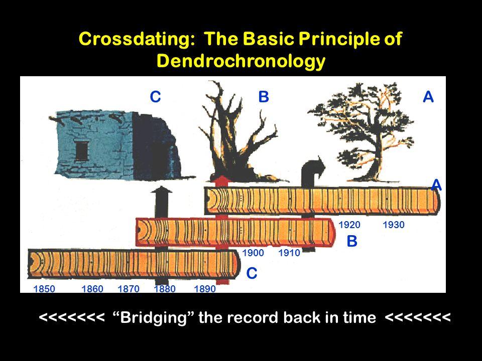 Crossdating dendrochronology specimen