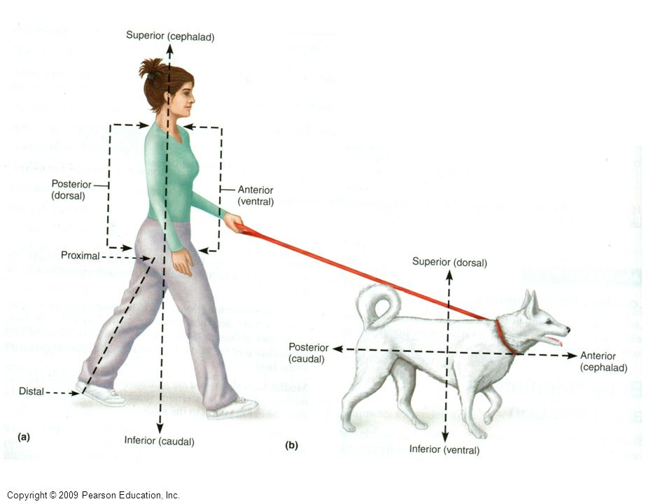 Body Orientation and Direction Dependent on Anatomical Position ...