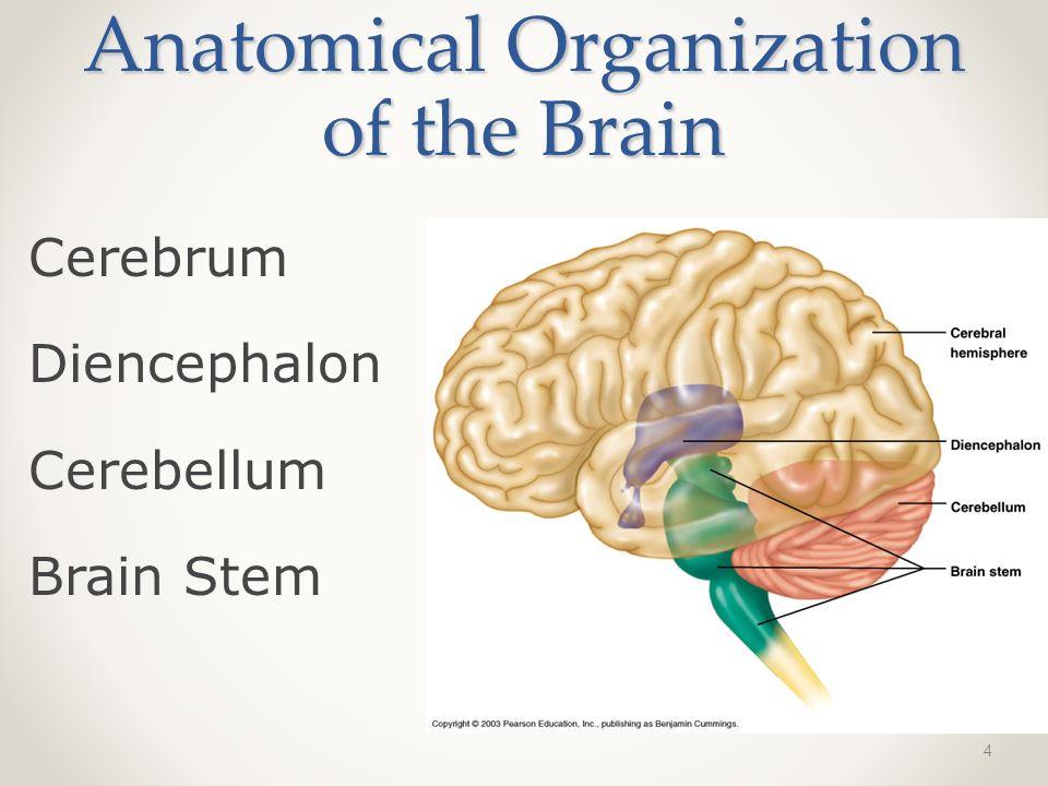 Anatomy of The Brain 1. 2 Anatomical Organization of the Brain Folds ...