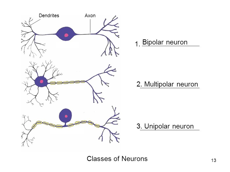 Multipolar Neuron Slide Diagram - Electrical Work Wiring Diagram •
