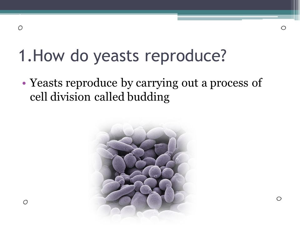 Yeast reproduces by budding asexual reproduction