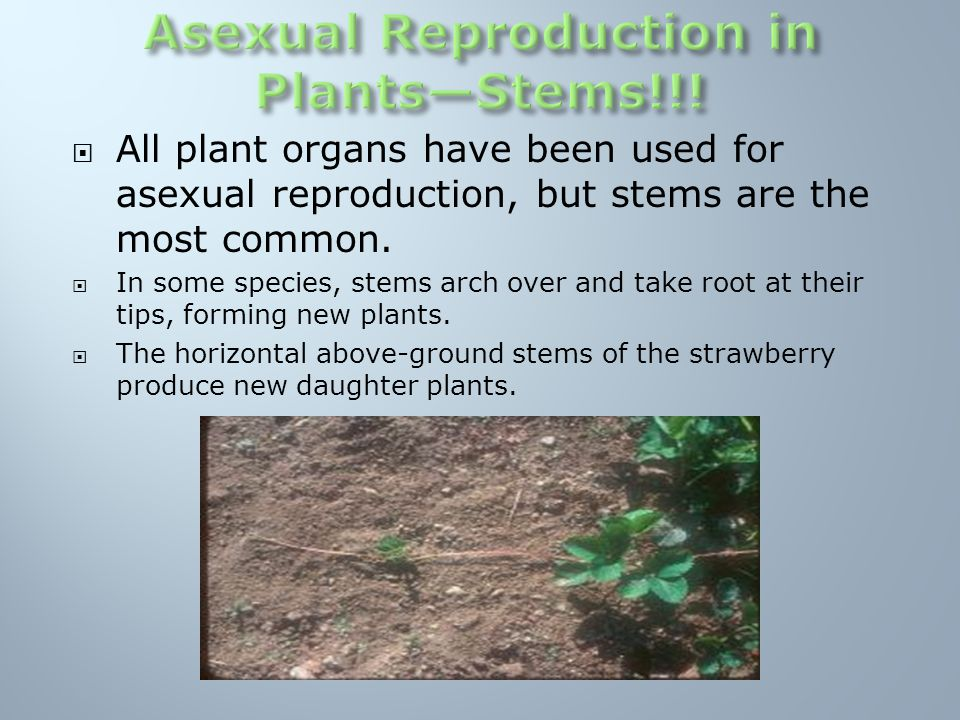 Four types of stems that are organs of asexual reproduction in bacteria