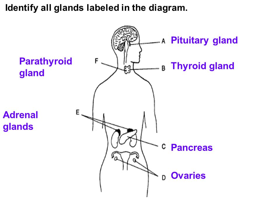identify all glands labeled in the diagram