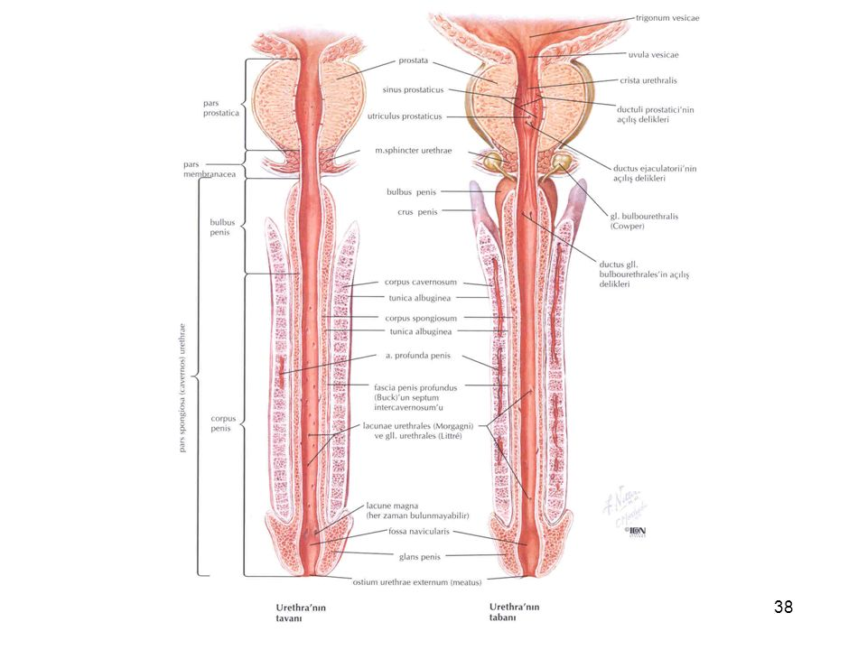 Urinary bladder and Urethra Prof. Dr. Selda Önderoğlu Anatomy ...