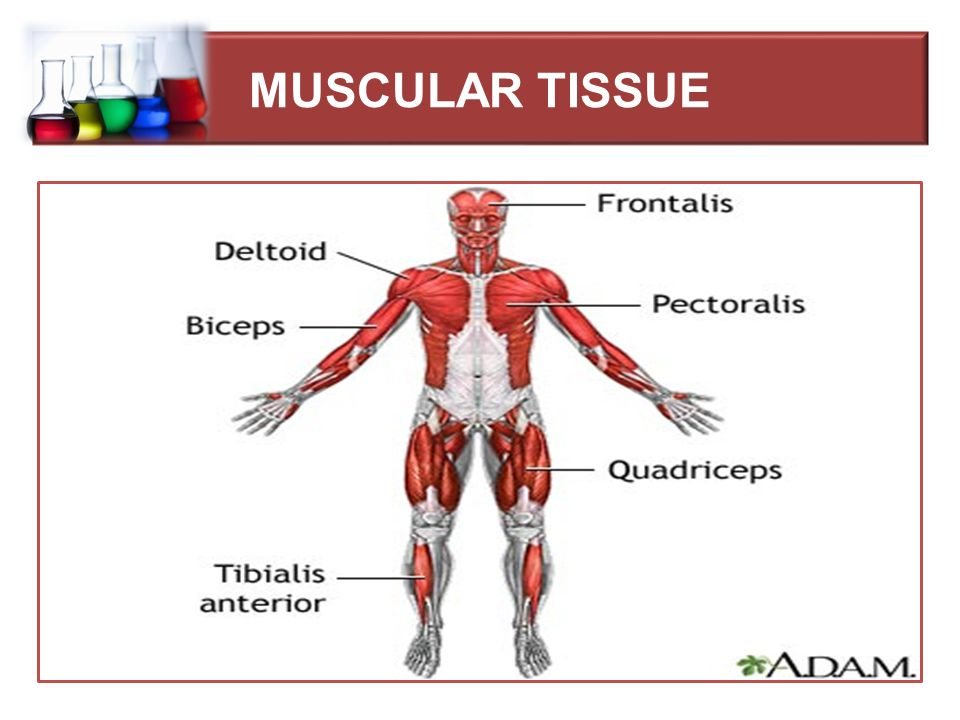 Muscular Tissue Mrs Dalia Kamal Eldien Msc In Microbiology Lecture