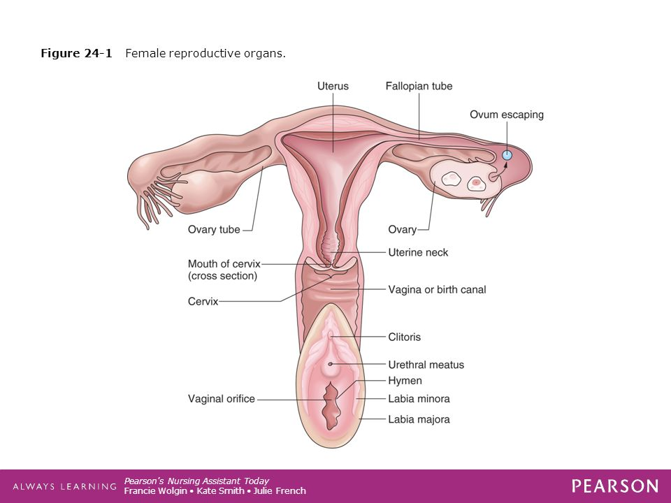 Pearson\'s Nursing Assistant Today CHAPTER The Reproductive System ...