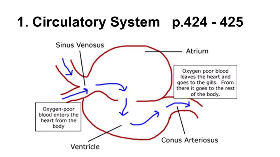 Lamprey Circulatory System Diagram Smart Wiring Diagrams