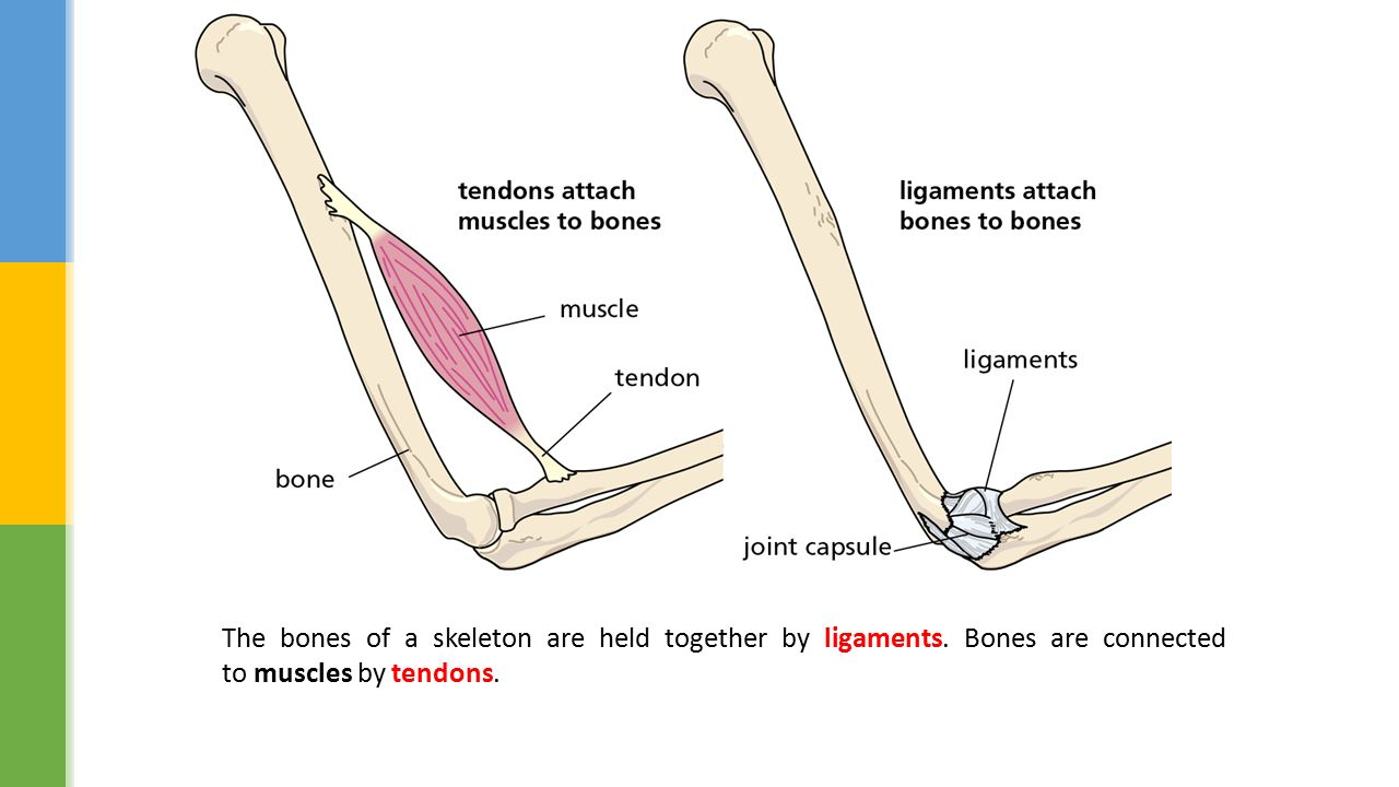 a brief description of bones ligaments Looking for online definition of ankle ligaments in the medical dictionary ankle ligaments explanation free what is ankle ligaments meaning of ankle ligaments medical term  the cortical bone underlying the collateral ligament insertion may be avulsed by a severe sprain  soccer in brief.
