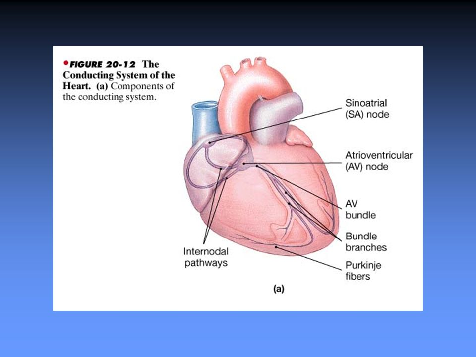 Cardiovascular Anatomy, Physiology and Pharmacology BS913 Lecture 10 ...