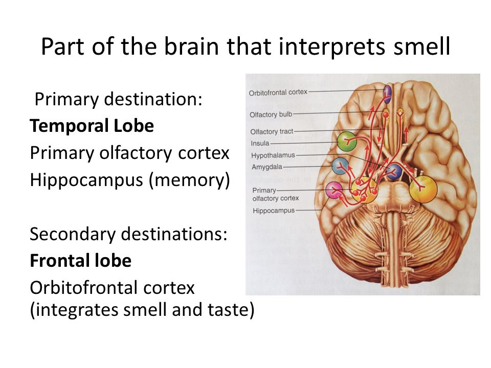 Special Senses Smell Testing Sensory Adaptation 1as We Pass Rhslideplayer: Primary Smell Cortex Location At Gmaili.net