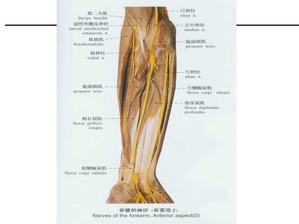 Human anatomy Muscles of the forearm Muscles of the Forearm  The ...