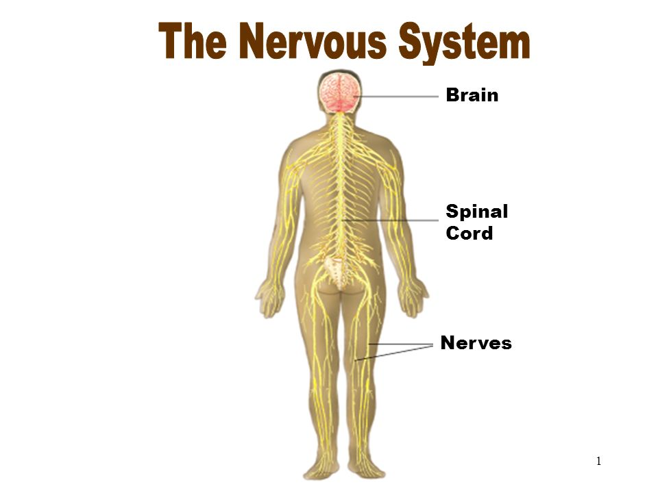 1 The Nervous System Spinal Cord Brain Nerves 2 Objectives After